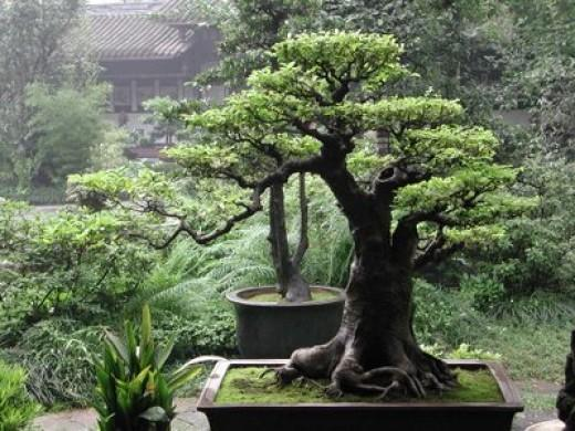 Tremendous Cedar Bonsai Tree Care Guide Cedrus Libani Bonsai Tree Gardener Wiring Digital Resources Funapmognl