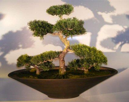 Astounding Cedar Bonsai Tree Care Guide Cedrus Libani Bonsai Tree Gardener Wiring Digital Resources Funapmognl