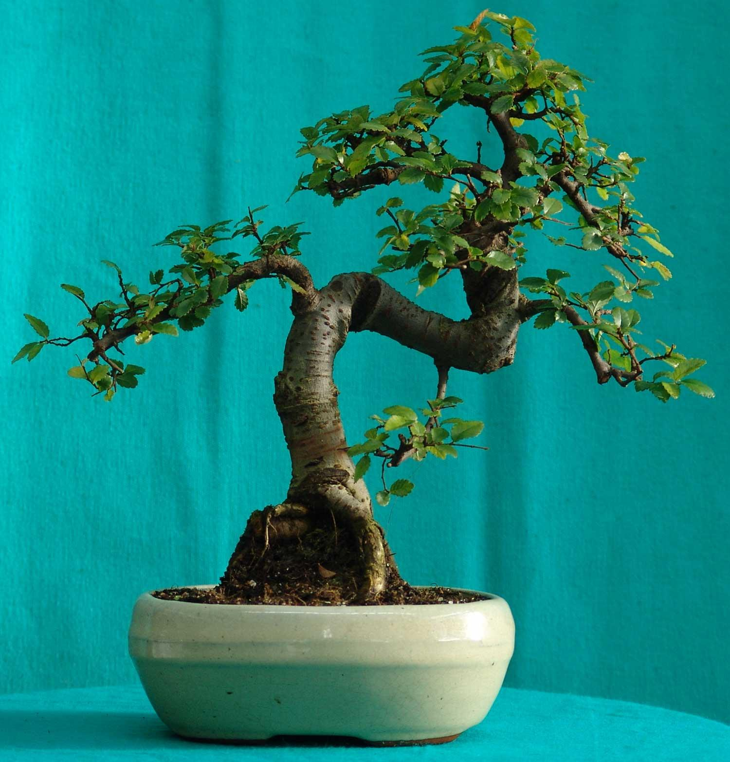 Chinese Elm Bonsai Tree Indoors