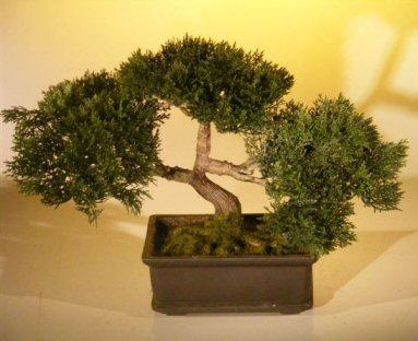 Brilliant Cedar Bonsai Tree Care Guide Cedrus Libani Bonsai Tree Gardener Wiring Digital Resources Funapmognl