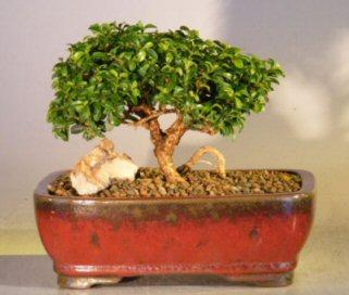 Japanese Kingsville Boxwood