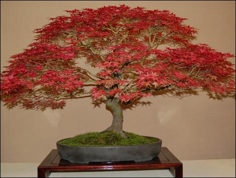Japanese Maple Bonsai Trees | Bonsai Tree Gardener