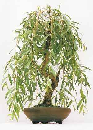 Weeping Willow Bonsai Trees Bonsai Tree Gardener