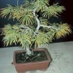 Bonsai Tree Looks Yellow