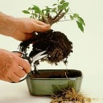 Bonsai Tree Repotting