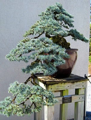 Coniferous Bonsai