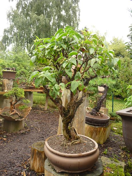 deciduous bonsai Ficus Bonsai Sugar Maple Bonsai