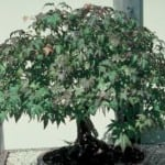How To Revive Bonsai Tree Brown Leaves