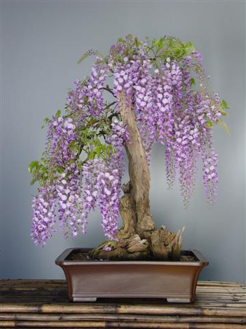 Blue Japanese Wisteria Bonsai