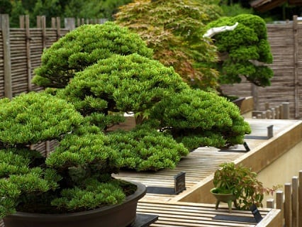 Overview of Bonsai Trees