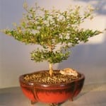 Black Olive Bonsai Tree