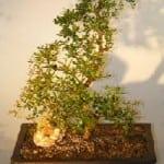 Dwarf Black Olive Bonsai