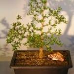 Dwarf Black Olive Bonsai Tree