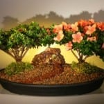 Flowering Azalaea Bonsai Tree - Double