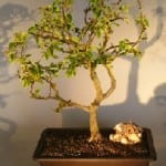 Flowering Bougainvillea Bonsai Tree