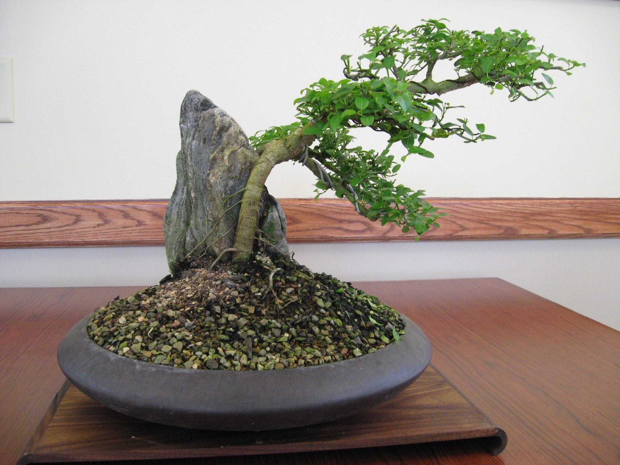 10 Steps To Good Bonsai Bonsai Tree Gardener