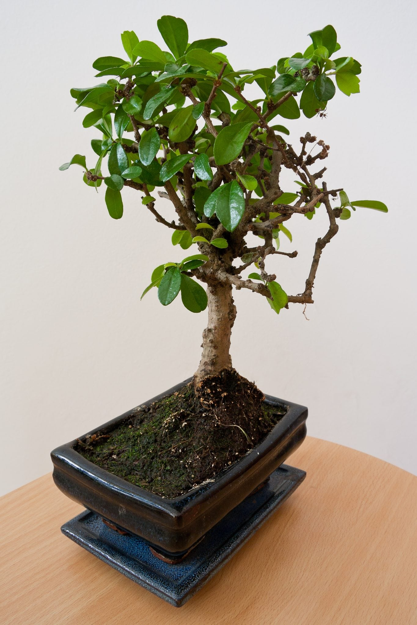 DIY Bonsai Tree