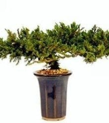 Juniper Bonsai Tree For Sale - 8 - Preserved Bonsai Tree For Sale (Preserved - Not a living tree)