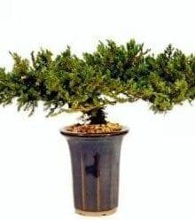 Juniper Bonsai Tree For Sale - 8 - Preserved Bonsai Tree For Sale (Preserved - Not a living tree)
