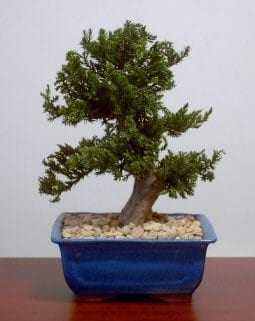 Preserved Juniper Bonsai Tree For Sale - Upright Style (Preserved - Not a living tree)