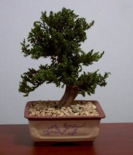 Preserved Juniper Bonsai Tree For Sale 1 Upright Style Potted In Chinese Bonsai Container Preserved Not A Living Tree Bonsai Tree Gardener