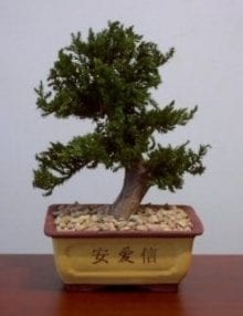 Preserved Juniper Bonsai Tree For Sale #3 - Upright Style Potted in Chinese Bonsai Container (Preserved - Not a living tree)