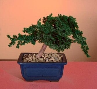 Preserved Juniper Bonsai Tree For Sale - Windswept Style (Preserved - Not a living tree)