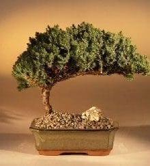 Juniper Bonsai Tree For Sale - Medium (Juniper Procumbens nana)