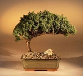 juniper bonsai tree for sale medium juniper procumbens