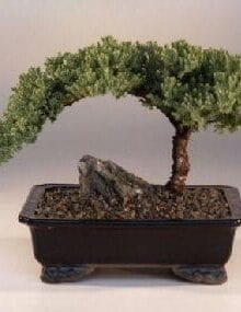 Juniper Bonsai Tree For Sale - Large (Juniper Procumbens nana)