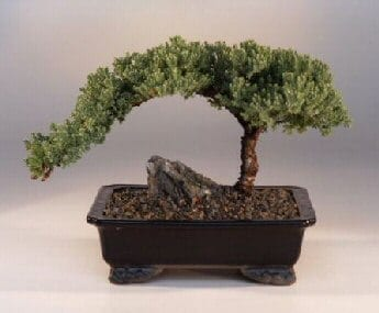 Juniper Bonsai Tree For Sale Large Juniper Procumbens Nana Bonsai Tree Gardener