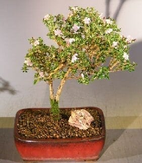 Flowering Pink Serissa Bonsai Tree For Sale - Large (Serissa Foetida)