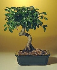 Hawaiian Umbrella Bonsai Tree For Sale - Medium Coiled Trunk Style (Arboricola Schefflera 'Luseanne')