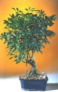 Hawaiian Umbrella Bonsai Tree For Sale - Medium (Arboricola Schefflera 'Luseanne')