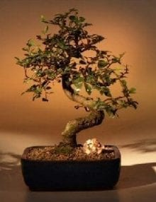 Chinese Elm Bonsai Tree For Sale - Medium Curved Trunk Style (Ulmus Parvifolia)