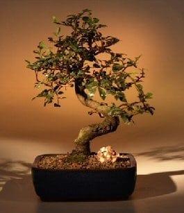 Chinese Elm Bonsai Tree For Sale - Medium Curved Trunk Style (Ulmus Parvifolia)