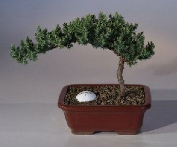 Juniper Bonsai Tree For Sale with Fairway Golf Ball (Juniper Procumbens nana)