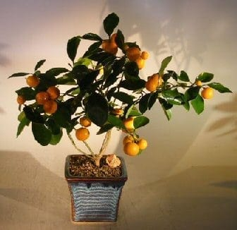 Orange Citrus Bonsai Tree For Sale (Calamondin Orange)
