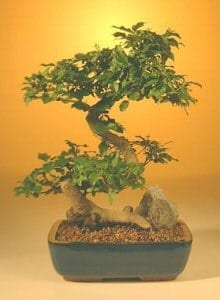 Flowering Ligustrum Bonsai Tree For Sale - Large Curved Trunk Style (ligustrum lucidum)