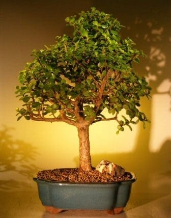 Baby Jade Bonsai Tree For Sale - Extra Large (Portulacaria Afra)