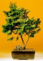 Golden Hinoki Cypress - Large Bonsai Tree For Sale (Chamecyparis obtusa 'Nana Lutea')