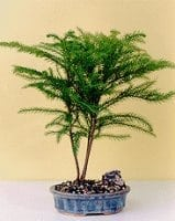 Norfolk Island Pine Bonsai Tree For Sale -Medium (Araucaria Heterophila)