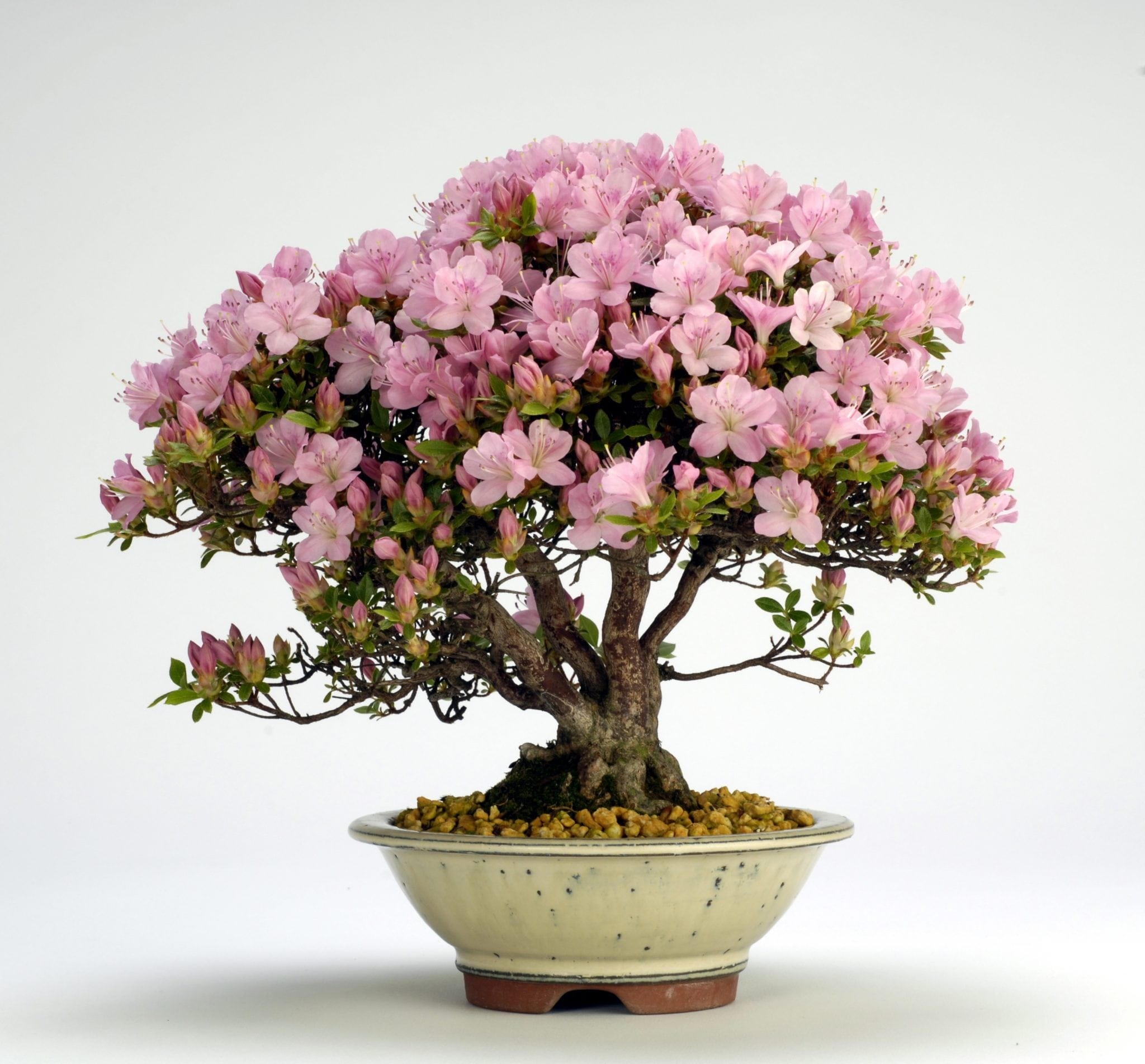 azalea bonsai tree. Black Bedroom Furniture Sets. Home Design Ideas