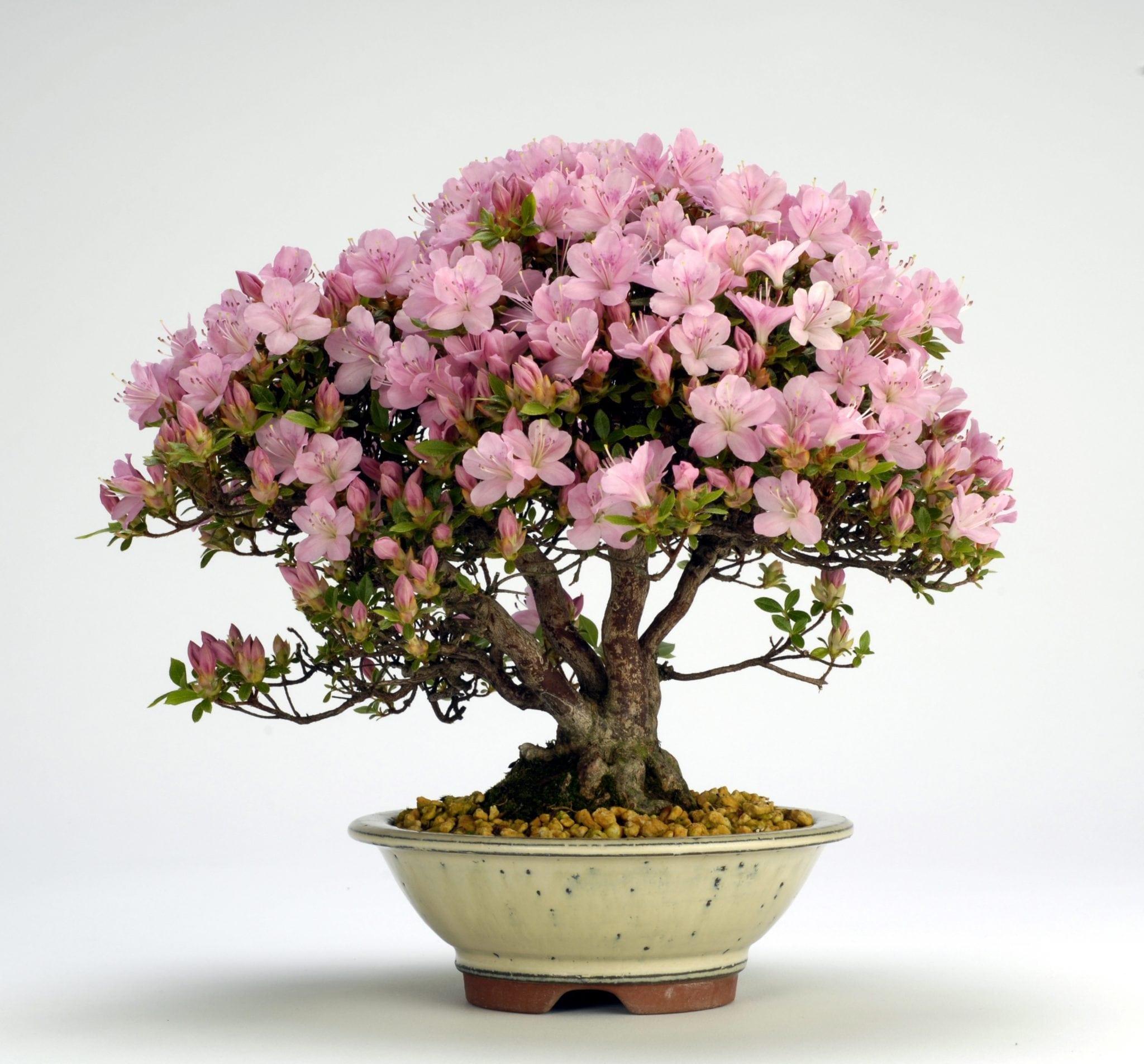 Azalea Bonsai Tree Care Guide Rhododendron Indicum Bonsai Tree
