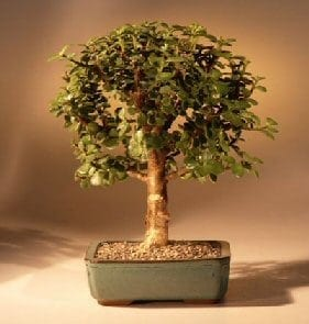Baby Jade Bonsai Tree For Sale - Medium (Portulacaria Afra)