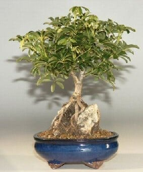 Hawaiian Umbrella Bonsai Tree For Sale - Large Roots Growing Over Rock (Arboricola Schefflera 'Luseanne')