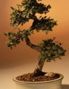 Chinese Elm Bonsai Tree For Sale - Large Curved Trunk Style (Ulmus Parvifolia)