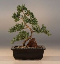 Juniper Karate Kid Bonsai Tree For Sale - Medium (Juniper Procumbens nana)