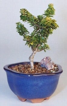 Dwarf Pagoda Holly Bonsai Tree For Sale - Small (Ilex Crenata Pagoda)