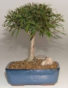 Willow Leaf Ficus Bonsai Tree For Sale - Medium (Ficus Nerifolia/Salisafolia)